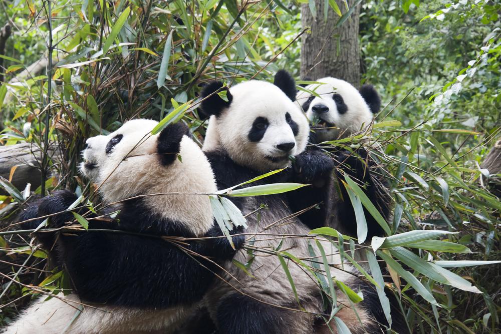 Panda Trio 1