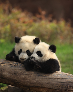 Are Wild Pandas Still Endangered?
