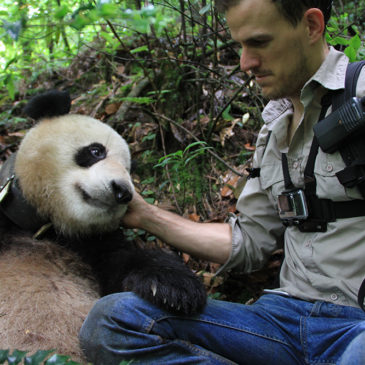 Are Wild Giant Pandas Still Endangered?
